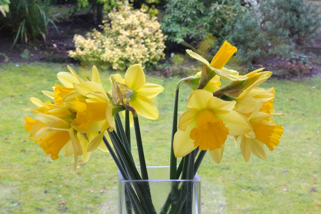 Daffodil photography - large depth of field